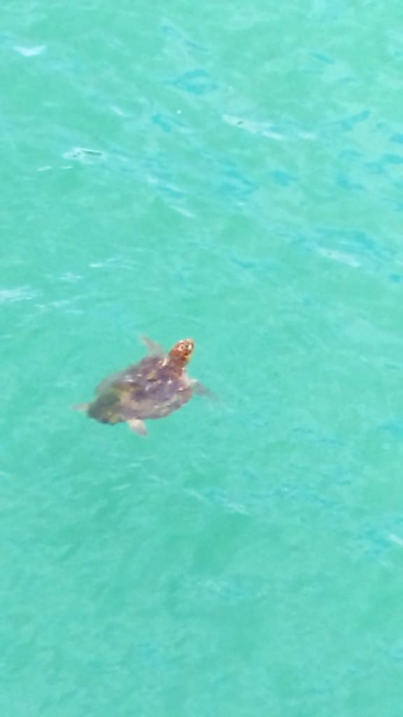 Navarre beach turtle
